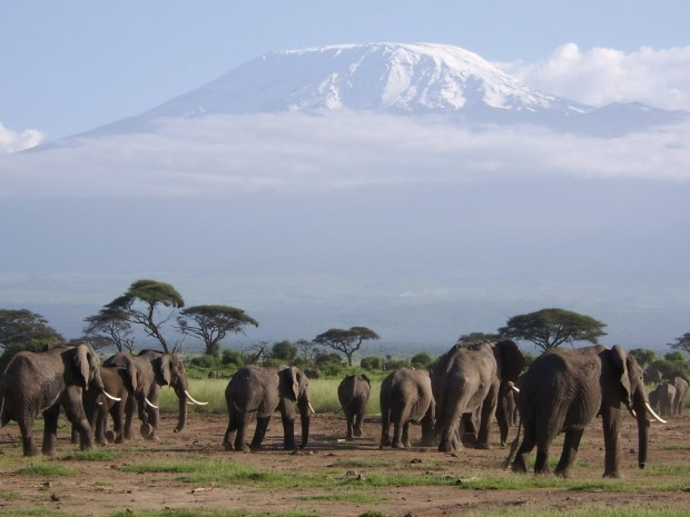 elephants-kili